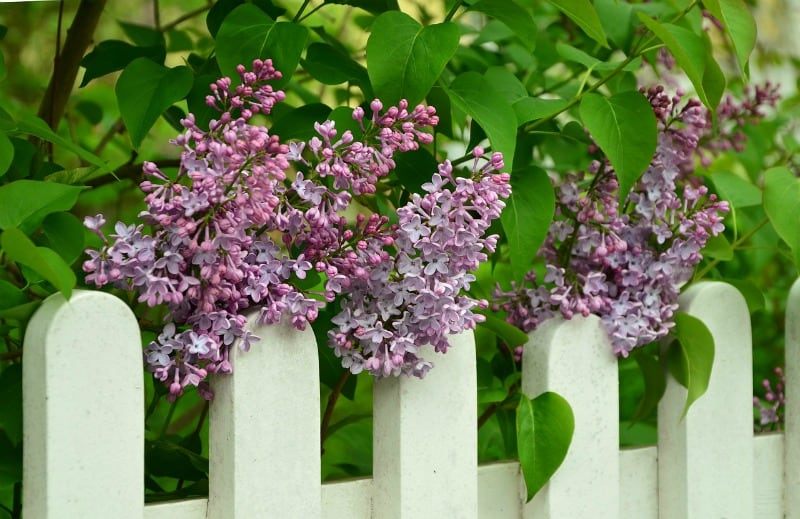 purple lilcs and a white fence