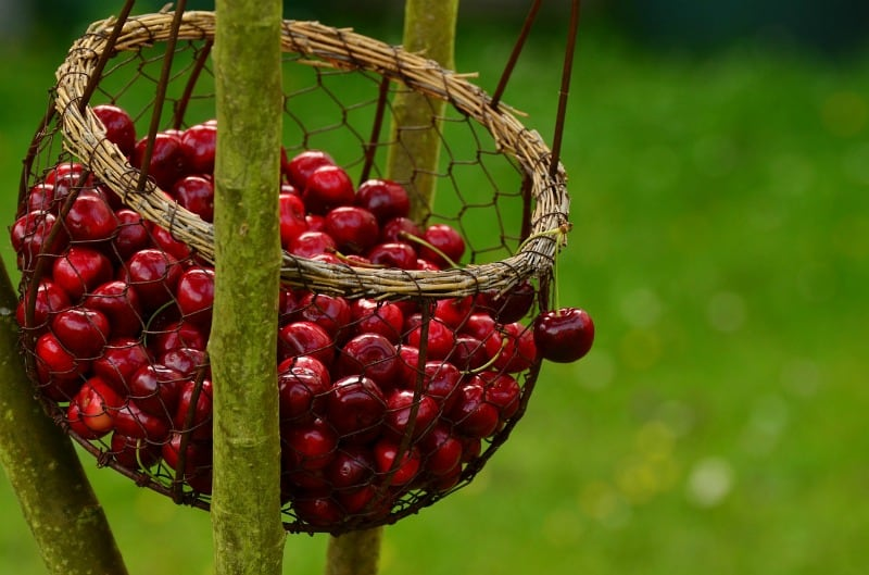 A basket of fresh cherries hanging from a tree