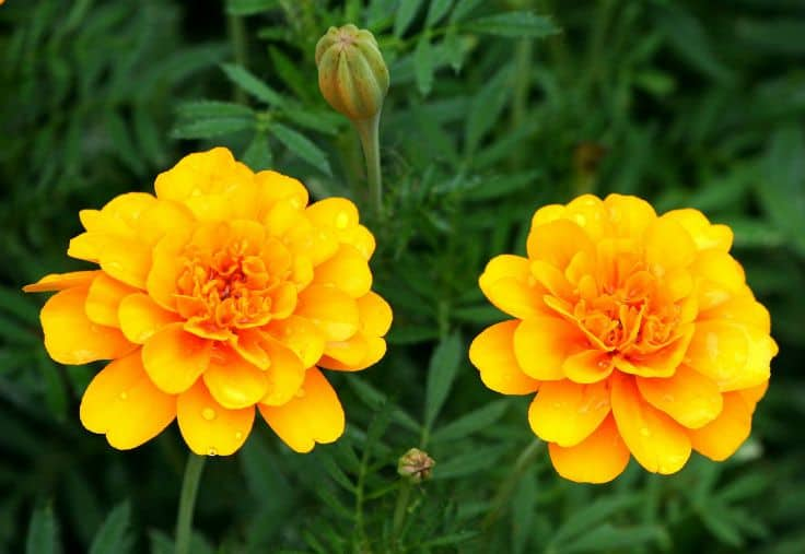 Beneficial Plants for your Garden - Marigolds