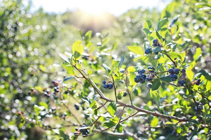 blueberries growing on a bush